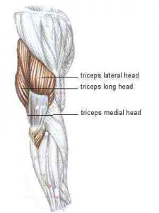 Triceps is two thirds of the arm personal training
